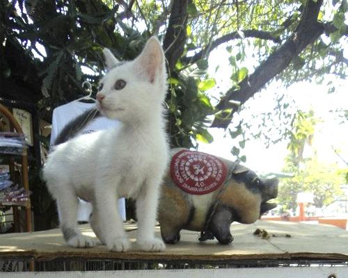 Gatito en la Sociedad protectora de animales de Zihuatanejo SPAZ